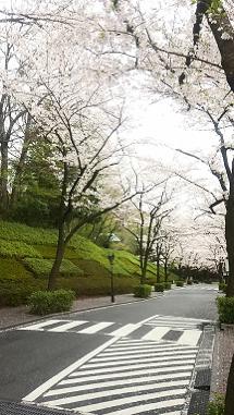 園内入り口から続く桜並木