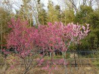 お参りの方「桜は少し早かったみたいですね」
