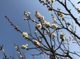 送迎バスの方「梅の花が…」