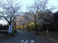 お参りの方「初めて桜のトンネルを見ました」