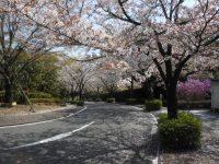 お参りの方「本当に桜が綺麗で感動しました」