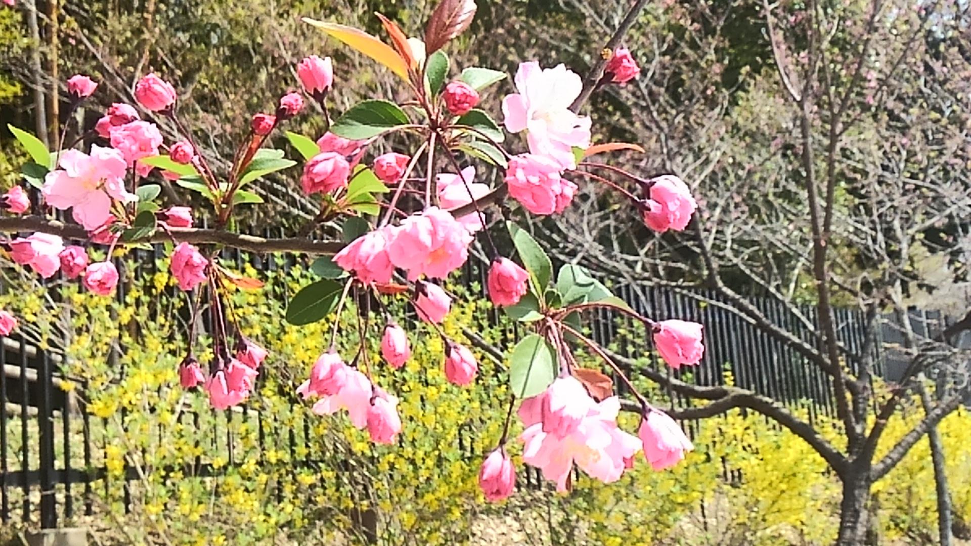 新区画の八重桜