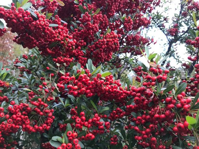 ピラカンサの木に赤い実が付きました。
