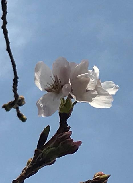 3/22 園内の桜が開花しました。