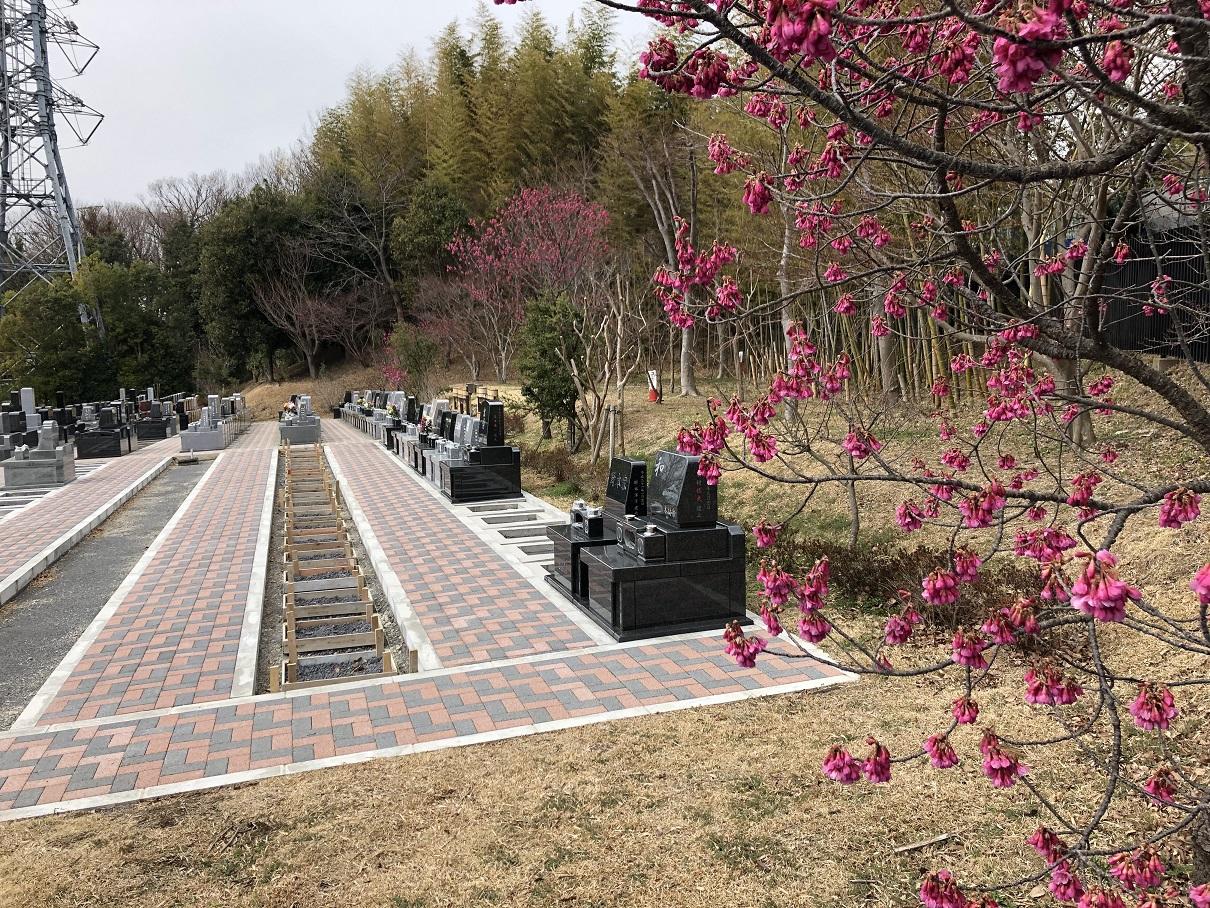 新区画の寒桜(彼岸桜)
