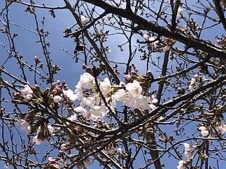桜 開花情報(3月21日)