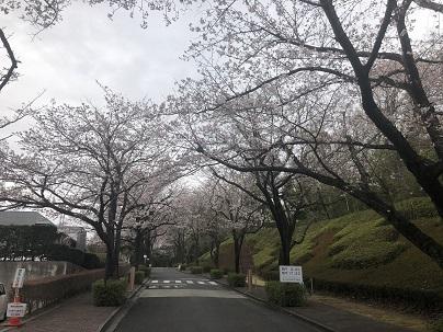 桜 開花情報(3月23日)